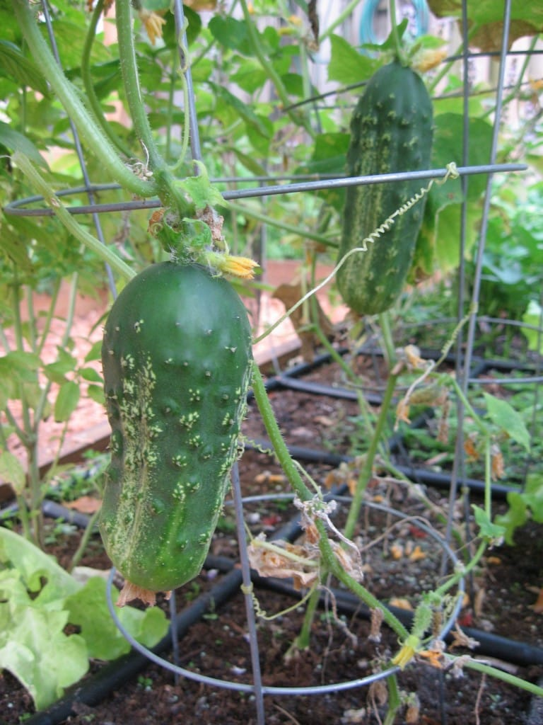 Square Foot Gardening cucumber