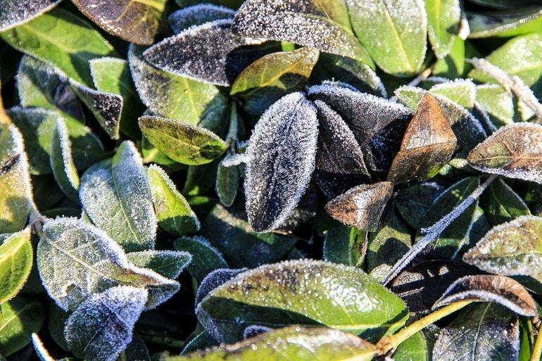winterize garden frost on leaves