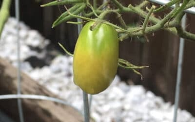 Tomatoes – Can You Pick Them When They're Green? When & Why You Would.